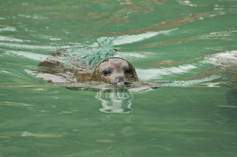 Download Sea lion stock image. Image of channel, sealion, roaring - 24934663