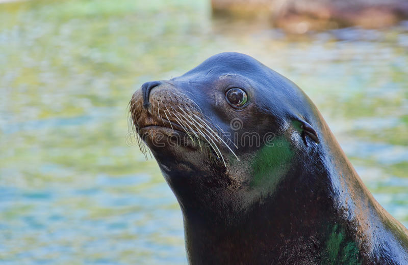 Download Sea Lion Stock Photography - Image: 26881352