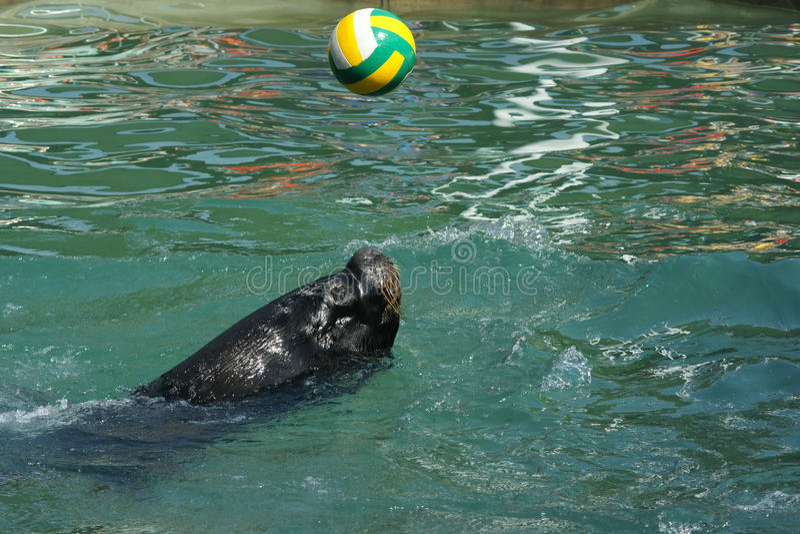 Download Sea lion stock image. Image of black, animal, close, pond - 27003007