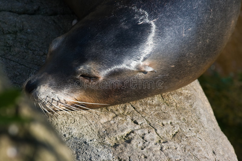Sea lion. A sea lion is resting in the sun after swimming anf playing stock image