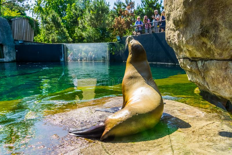 Sea lion from the back with zoo visitors watching and photographing, Blijdorp animal zoo, Rotterdam, The Netherlands, june 22,. A sea lion from the back with zoo royalty free stock images
