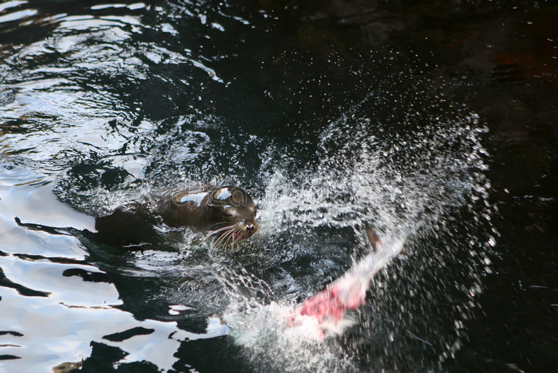 Sea Lion Buffet stock photography