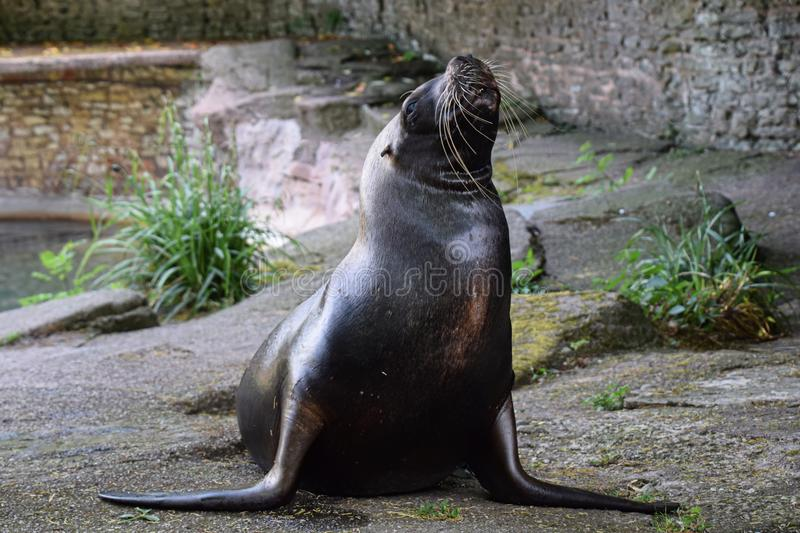 Sea lion in captivity royalty free stock images
