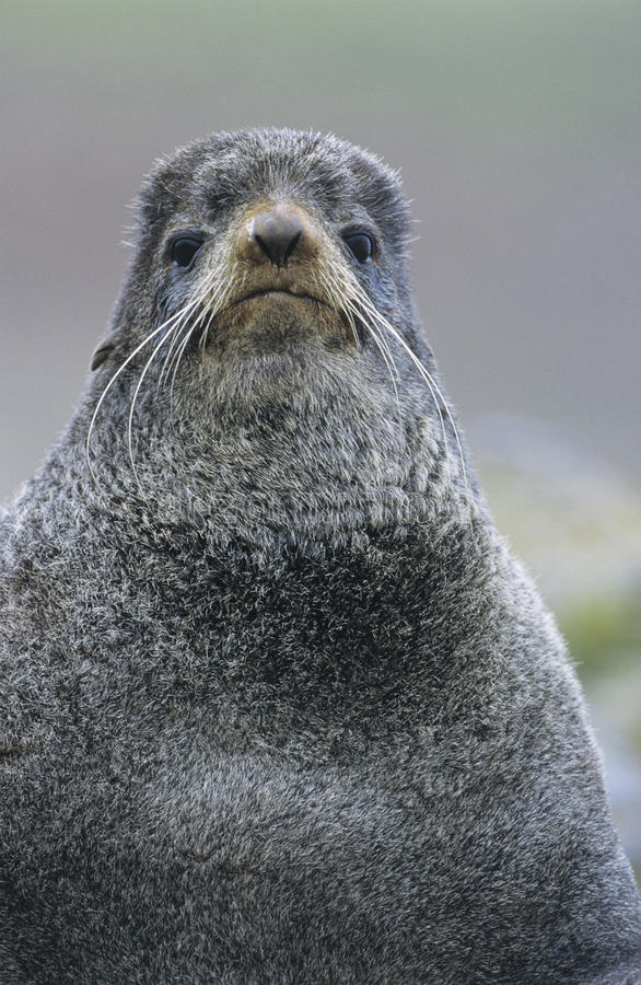 Download Sea lion close-up stock photo. Image of animal, outdoors - 30846110