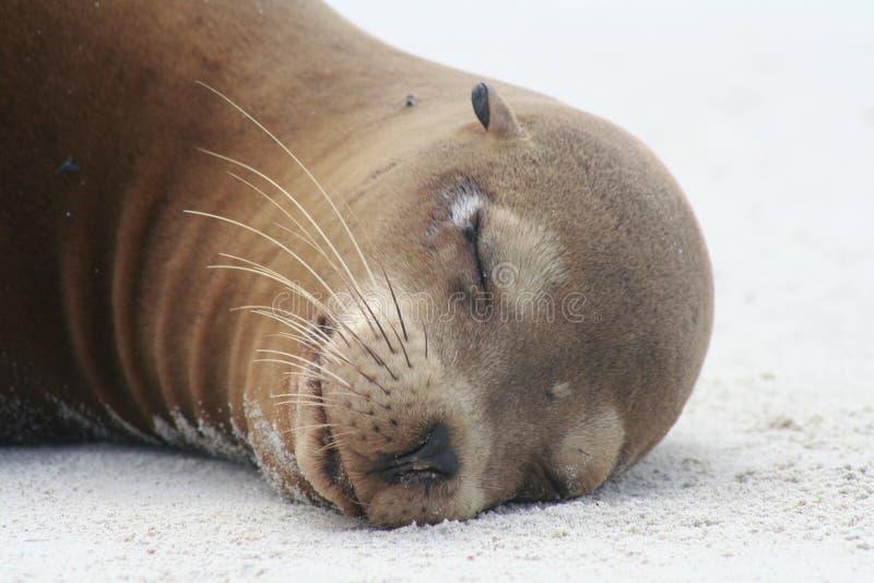 Sea lion face stock photos