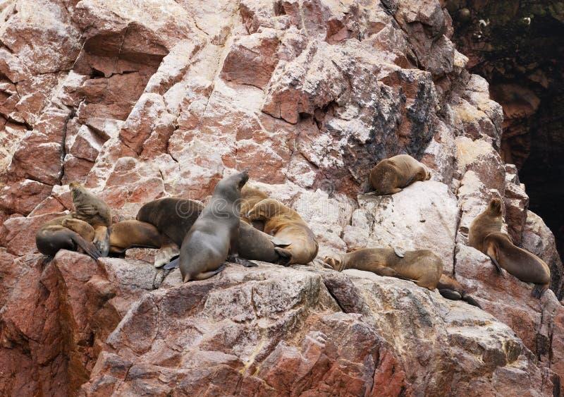 Sea Lion family stock image