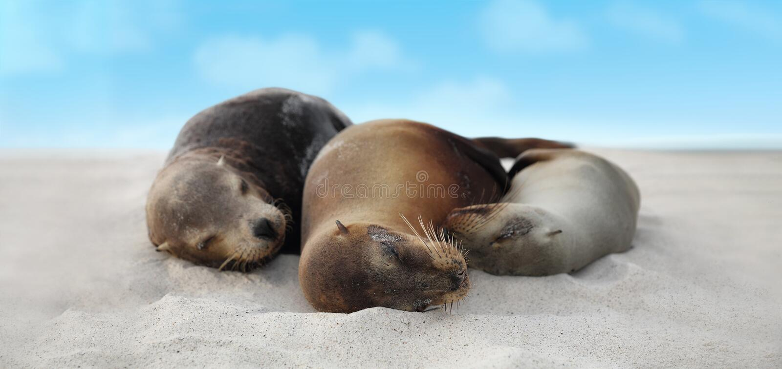 Sea Lion Family in sand lying on beach Galapagos Islands - Cute adorable Animals. Sea Lion Family in sand lying on beach on Galapagos Islands - Cute adorable royalty free stock photo