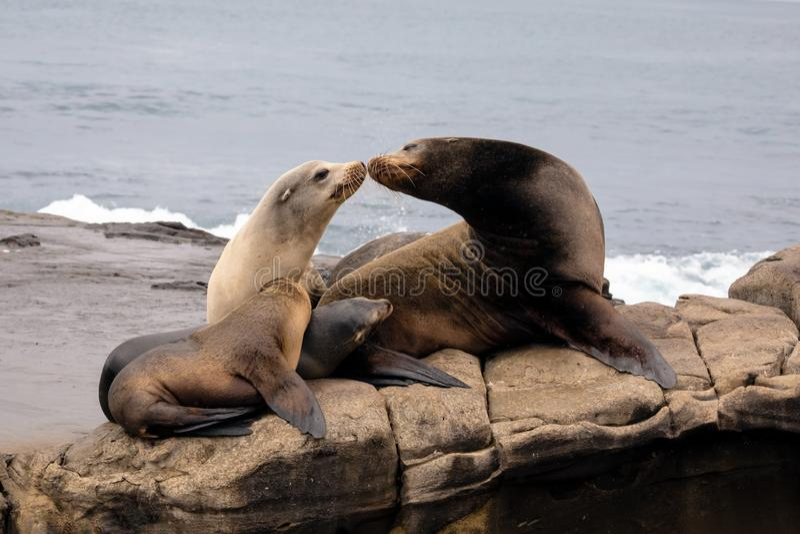 Sea Lion Family sitting on the rocks stock photos