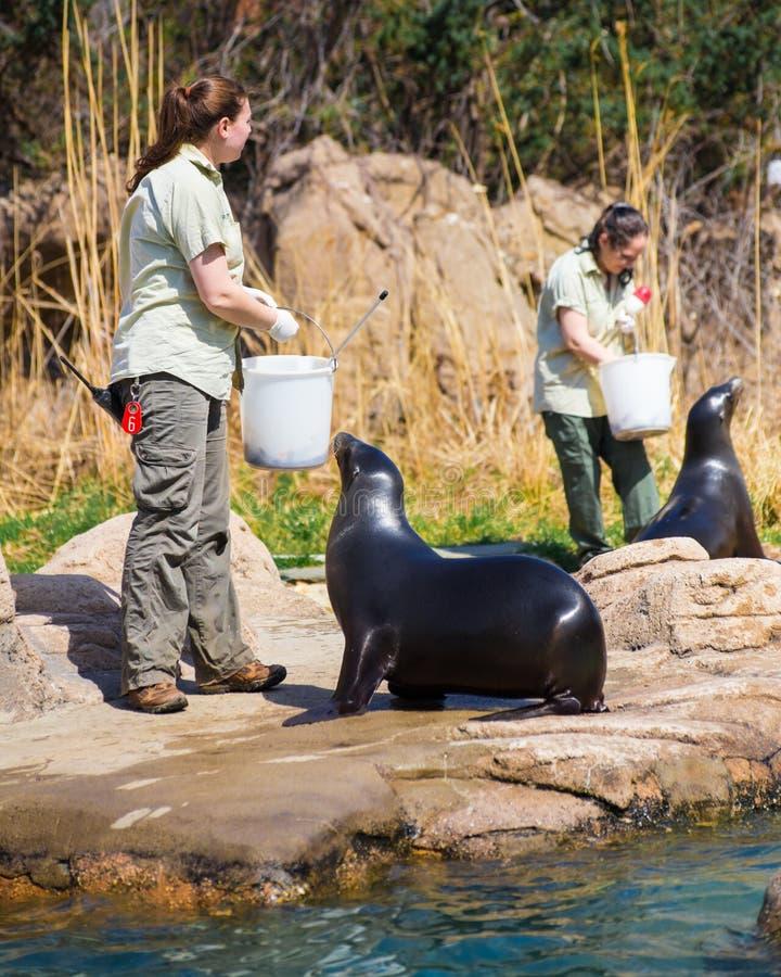 Free Sea Lion Feeding Royalty Free Stock Image - 40177446