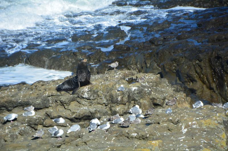 Sea lion and seagulls bask on Shore Acres` rocky beach on the Oregon Coast. A sea lion and a flock of seagulls bask in the autumn sun on a rocky beach at Shore stock image