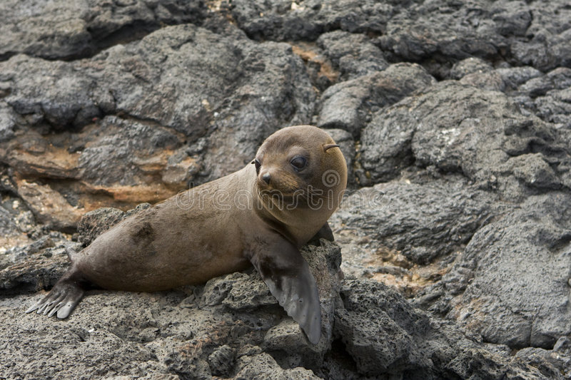 Download Sea Lion In The Galapagos Islands Royalty Free Stock Photography - Image: 7304027