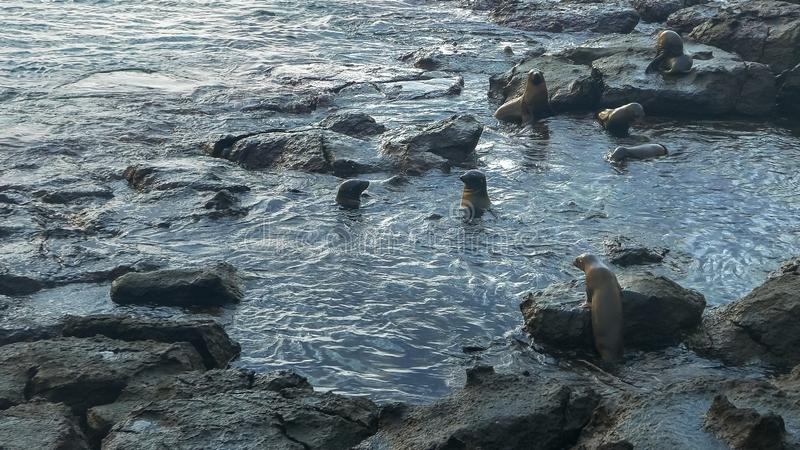 Sea lion harem at isla south plazas in the galapagos. Wide shot of a sea lion harem in a rock pool at isla south plazas in the galapagos islands, ecuador stock photos
