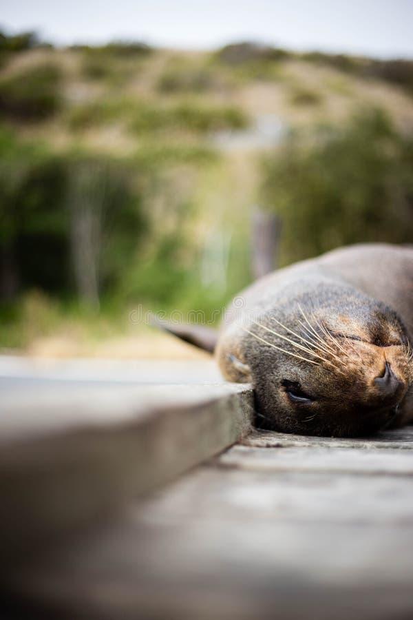 Sea Lion in New Zealand stock photos
