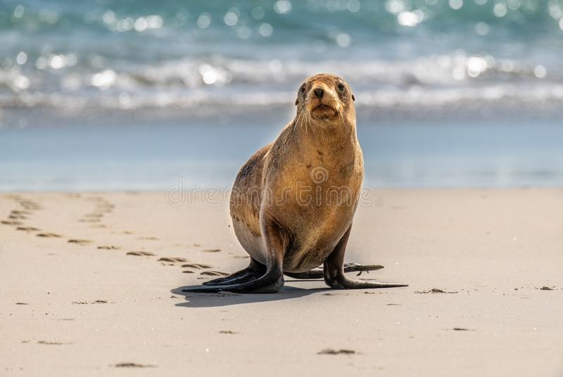 Sea Lion Walking on the Beach. Sea Lion Leaving Tracks on the Beach as it Comes Ashore stock photos