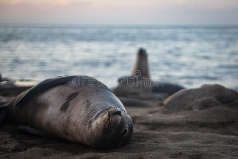 Sea lion looking at you royalty free stock photos