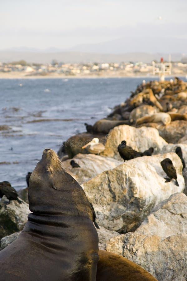 Sea lion at monterey bay stock photos