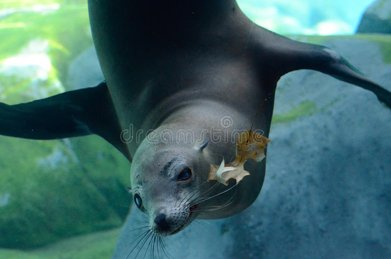 Download Sea lion and oak leaf2 stock photo. Image of smell, lion - 29370300