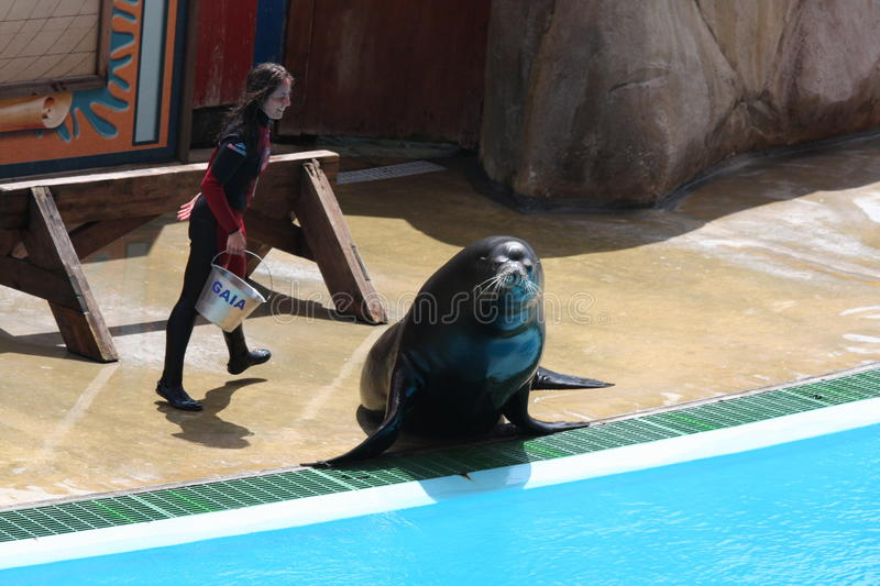 Sea Lion During Performance At Zoomarine-EDITORIAL royalty free stock photography