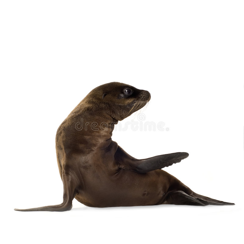 Sea-lion pup (3 months) royalty free stock photography
