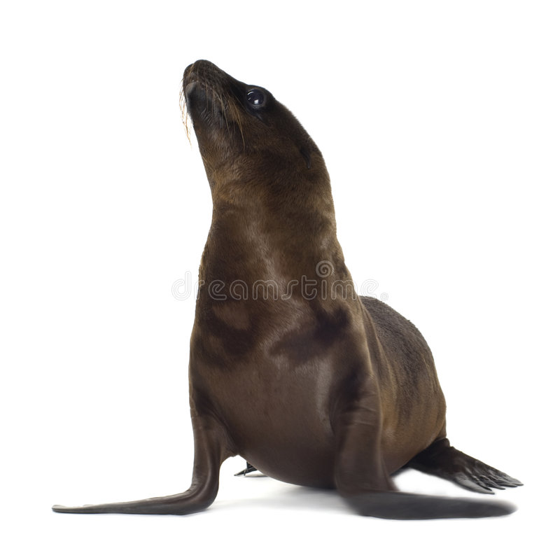 Free Sea-lion Pup (3 Months) Royalty Free Stock Images - 3284349