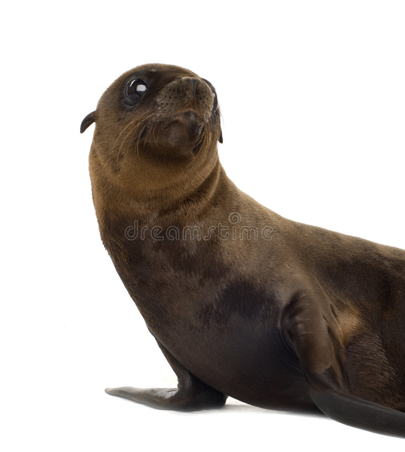 Free Sea-lion Pup (3 Months) Royalty Free Stock Images - 3284379