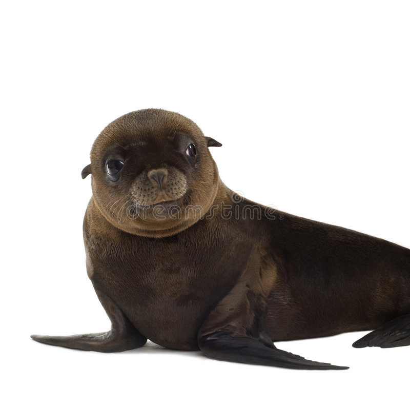 Free Sea-lion Pup (3 Months) Stock Photo - 3284390