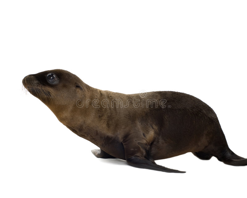 Download Sea-lion pup (3 months) stock image. Image of lion, eyes - 3284403