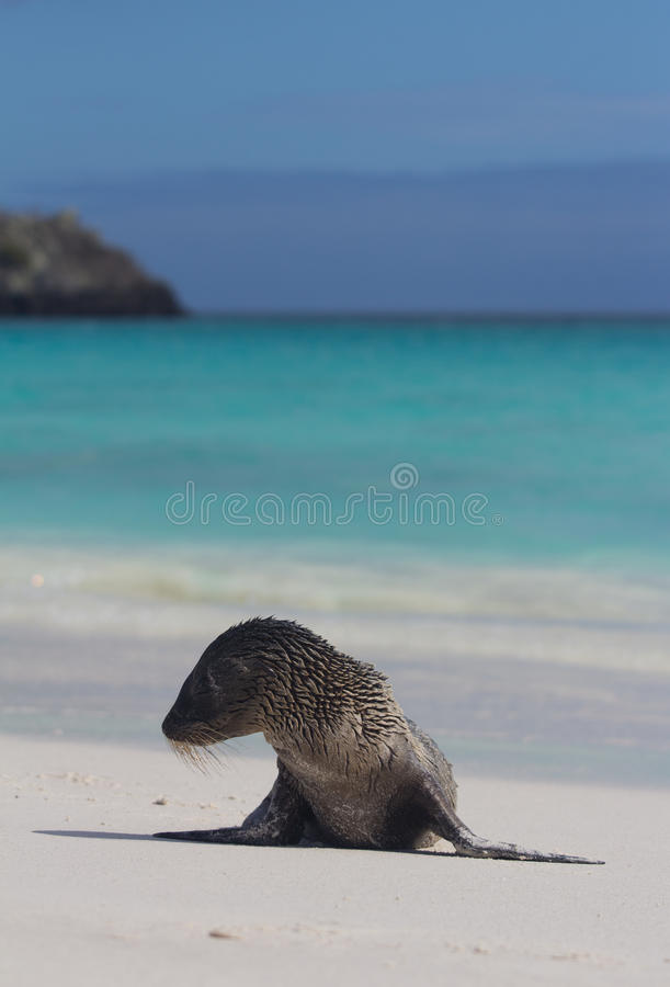 Download Sea Lion Pup on the Beach stock image. Image of espanola - 22092059