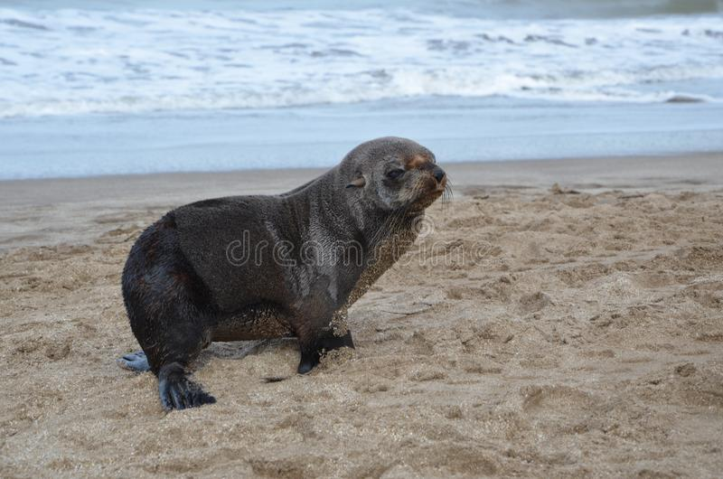Sea lion pup on the beach in carilo. Buenos aires province, argentina stock images