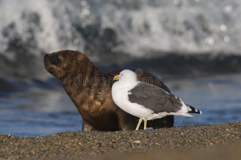 Sea Lion pup and gull, royalty-vrije stock foto
