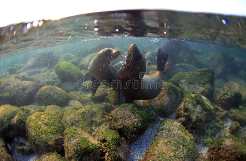 Sea lion pups playing underwater royalty free stock photography