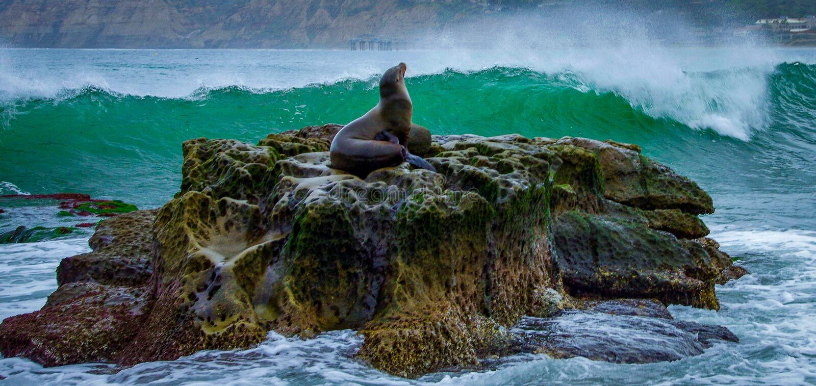 A sea lion strikes majestic pose on rock outcrop as large breaking wave approaches at La Jolla Cove. A sea lion rests serenely at home on a rock outcrop while stock photography