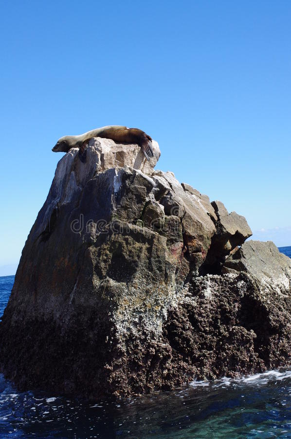 Sea lion on a rock royalty free stock photo