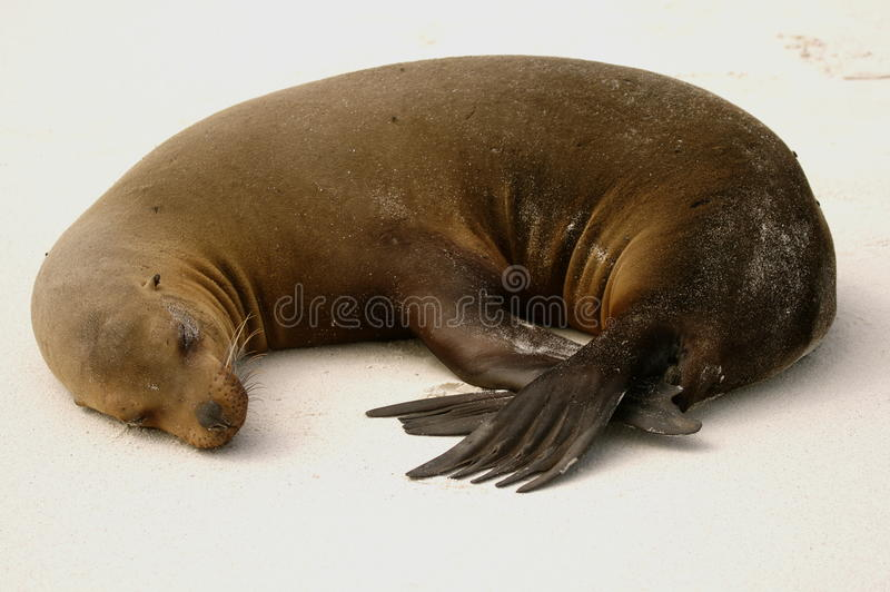 Download Sea-lion sleeping stock image. Image of marine, flipper - 12222731