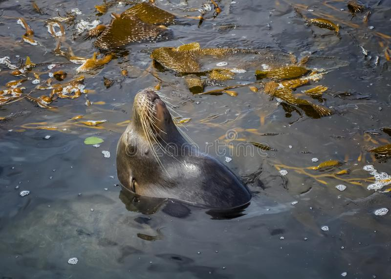 Sea Lion Sleeping in Ocean Surrounded by Kelp royalty free stock images