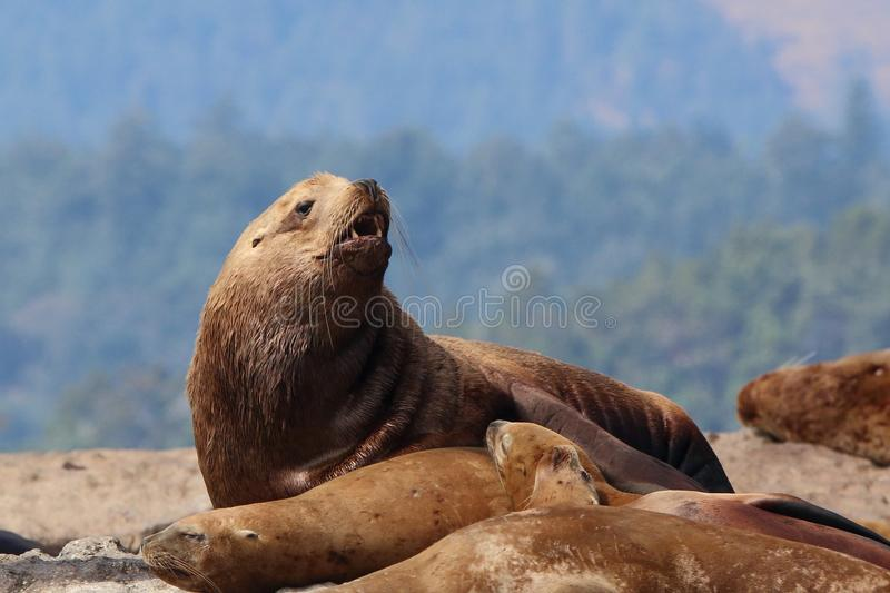 Download Sea lion stock image. Image of water, vancouver, californian - 64867585