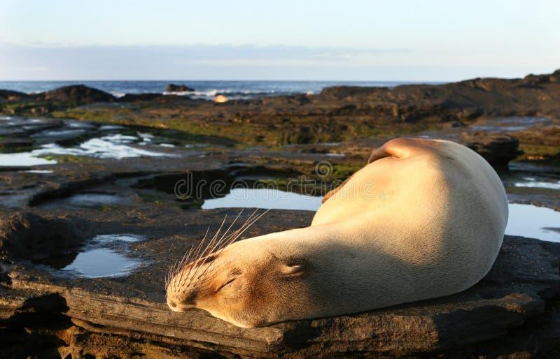Download Sea Lion Sun Bath stock photo. Image of juvenile, ecology - 6152348