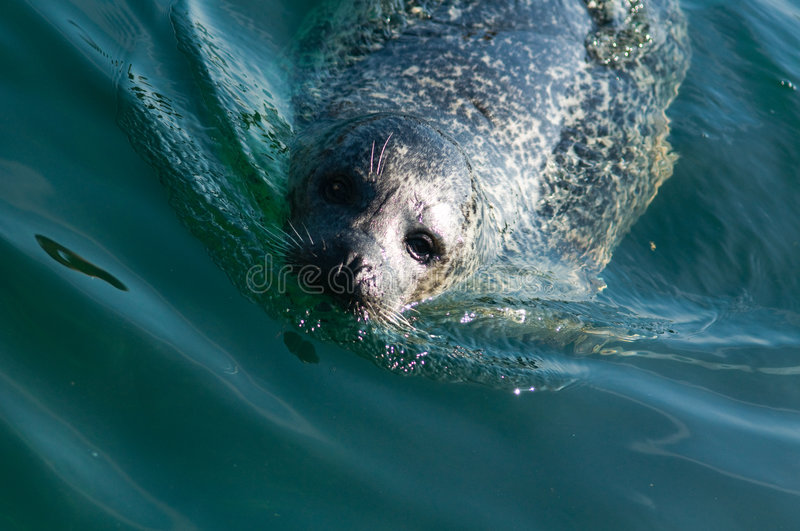 Sea lion swimming in ocean royalty free stock photos