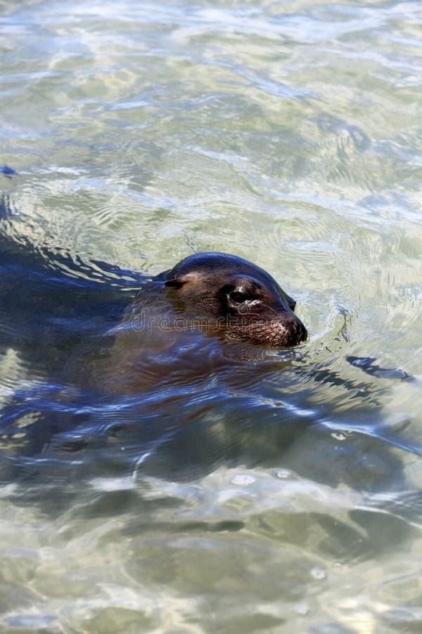 Sea lion swimming in tropical ocean lagoon royalty free stock photos