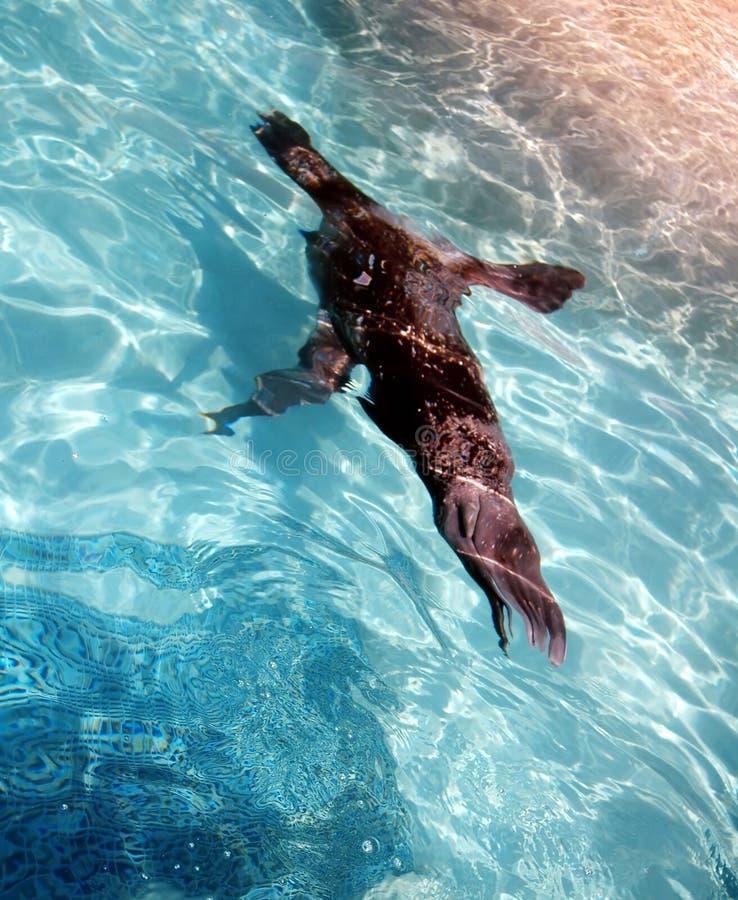 Download Sea Lion Swimming Underwater Stock Photo - Image: 197066
