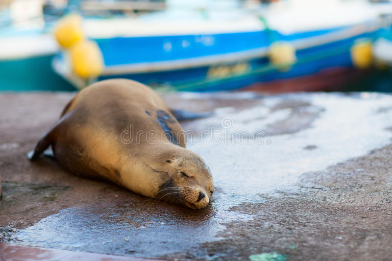 Download Sea lion in town stock image. Image of port, puerto, portrait - 29149447