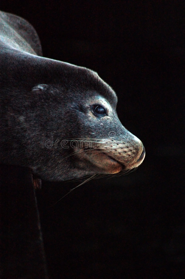 Free Sea Lion Under Pier Royalty Free Stock Photo - 390565