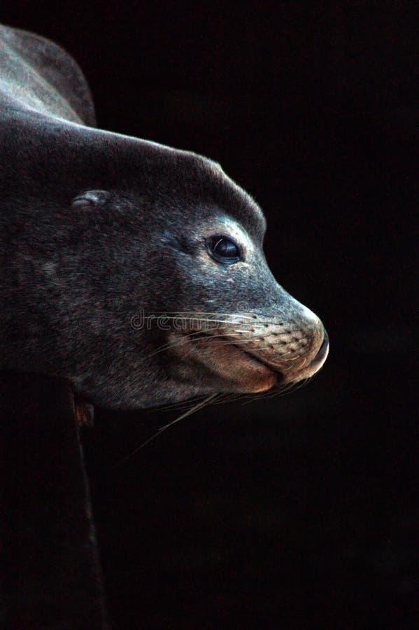 Sea Lion under pier royalty free stock photo