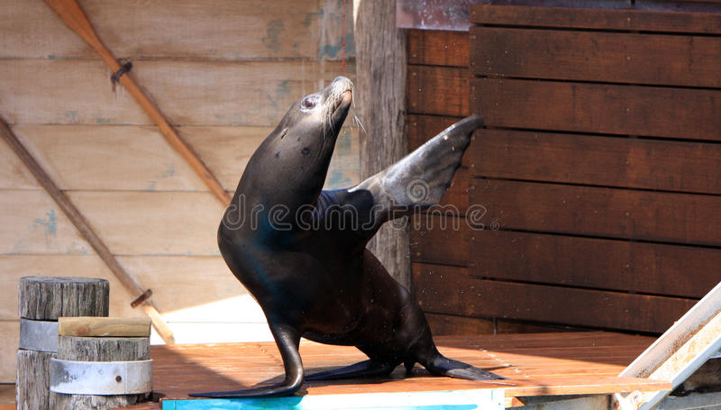 Sea lion waves hello royalty free stock images