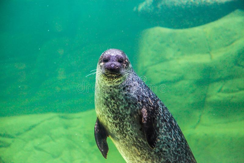 The sea lion waving his paw under the water. Klaipeda. Lithuania. royalty free stock photography