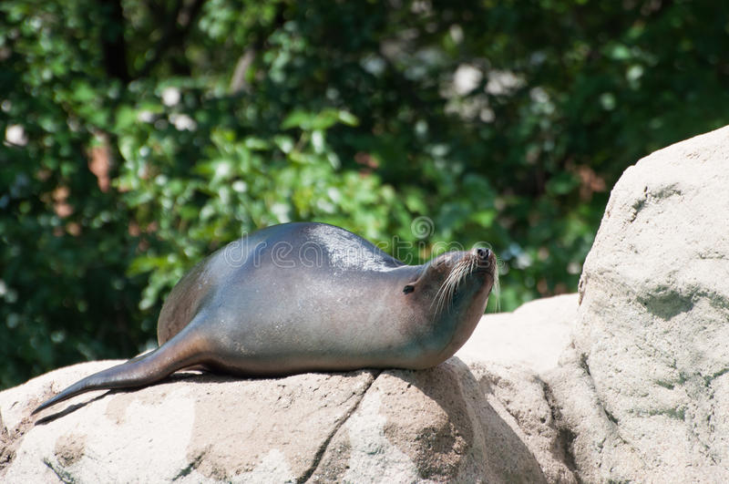 A Sea Lion Is In A Zoo Stock Photos