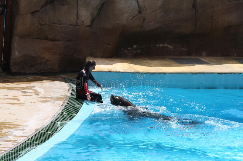Sea Lion At Zoomarine - EDITORIAL USE royalty free stock image