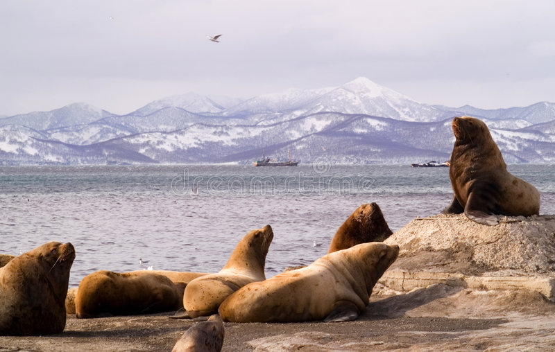 Sea lions. royalty free stock photo