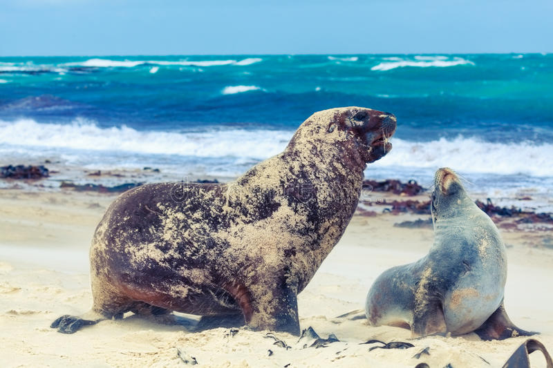 Download Sea lions stock image. Image of motion, courtship, protected - 24060103