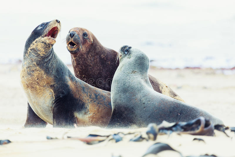 Sea lions stock image